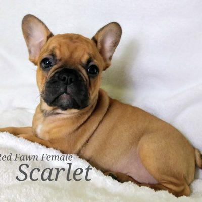 Scarlet - a female French Bulldog AKC puppy in Lone Tree, Colorado