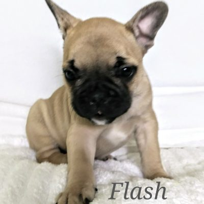 Flash - a male AKC French Bulldog puppy from Lone Tree, Colorado