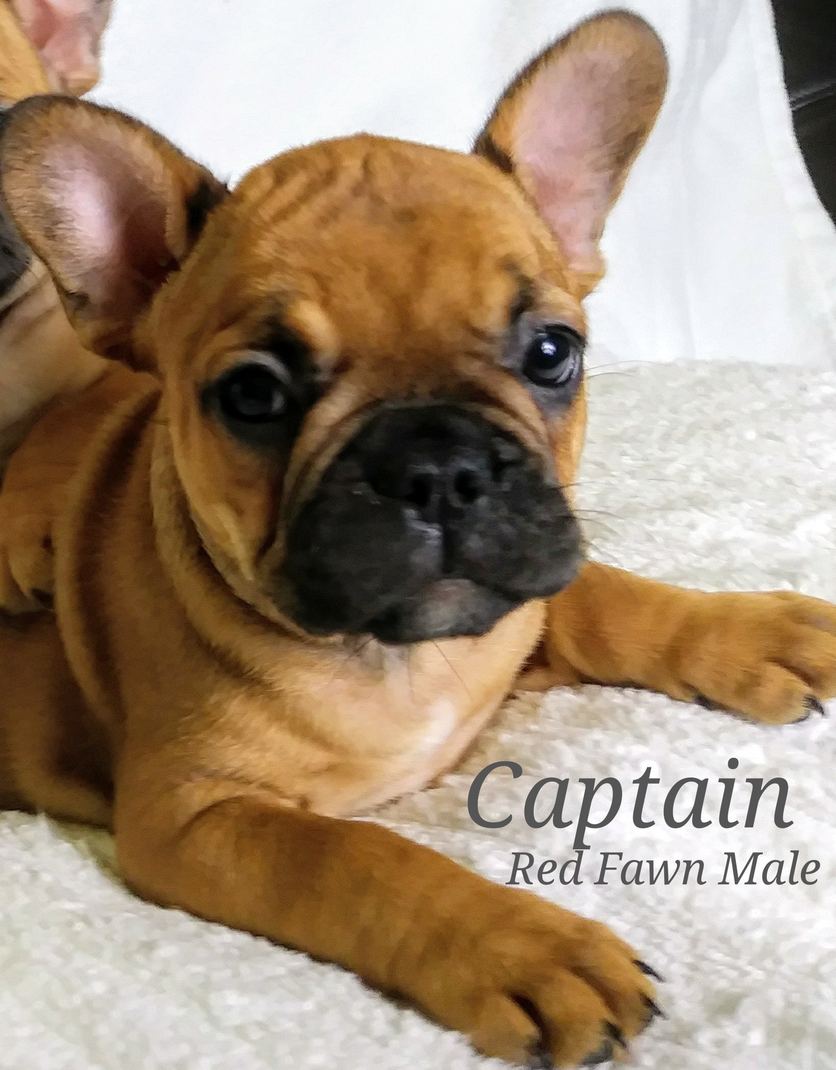 Captain - a male AKC French Bulldog puppy for sale in Lone Tree, Colorado
