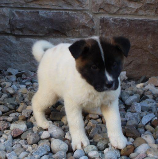 Alicia - a Female AKC Akita Puppy for Sale in New Haven, IN