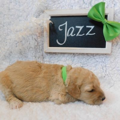 Jazz - a sweet female CKC Goldendoodle puppy in Cherry Creek, New York