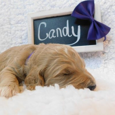 Candy - a female CKC Goldendoodle puppy for sale in Cherry Creek, NY