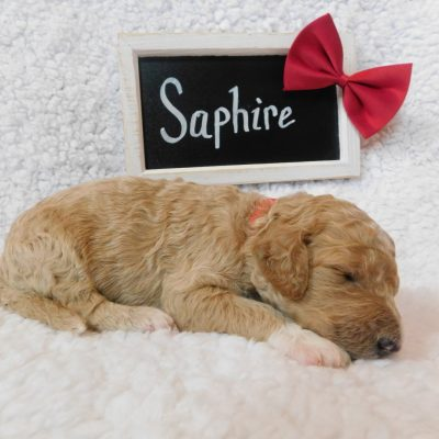 Saphire - a female F1B CKC Goldendoodle puppy in Cherry Creek, New York