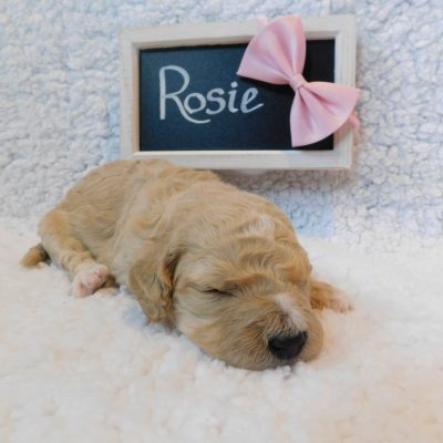 Rosie - a female CKC Goldendoodle puppy for sale in New York