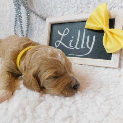 Lilly - a new female F1B CKC Goldendoodle puppy born in New York