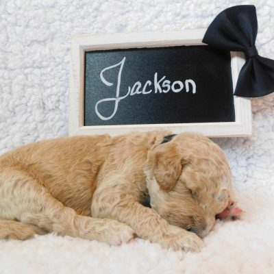 Jackson - a male F1B CKC Goldendoodle puppy born in Cherry Creek, NY