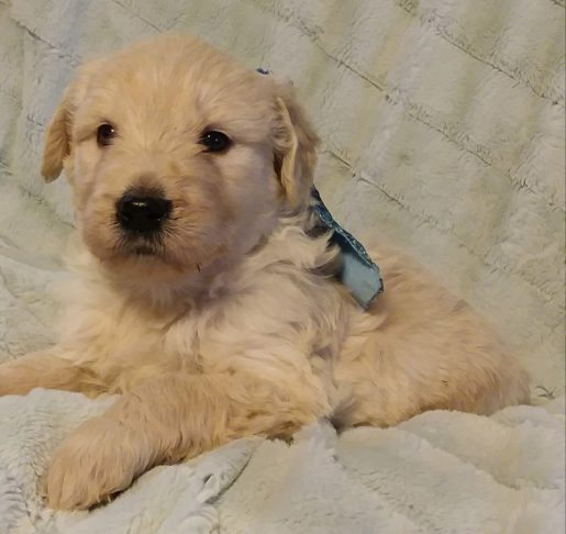 Buster Keaton - A male Goldendoodle puppy for sale in Greenville, SC