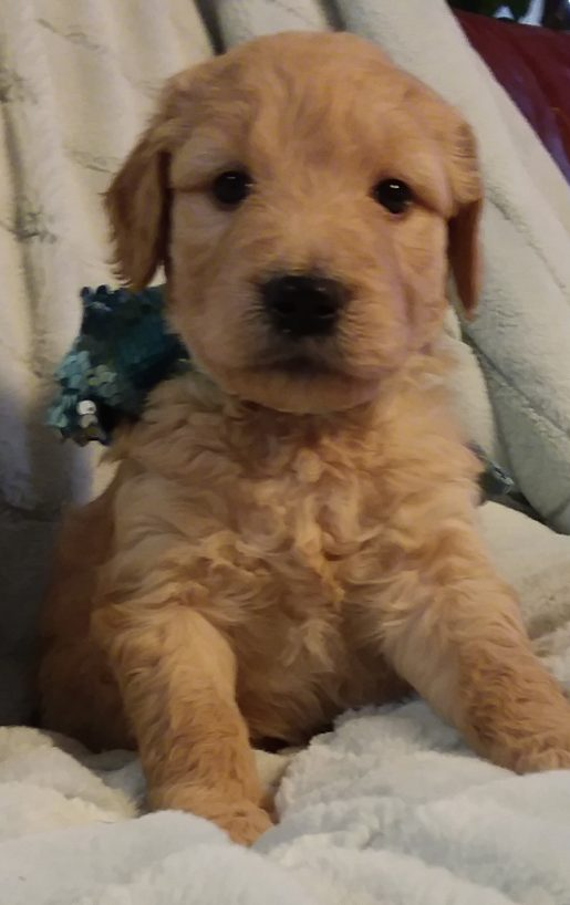 Charlie Chaplin - A male Goldendoodle puppy for sale in Greenville, South Carolina