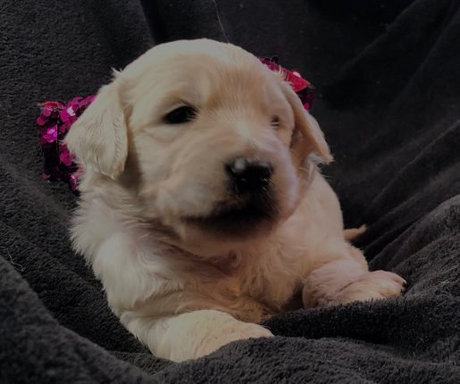 Fanny Brice - A darling female Goldendoodle puppy for sale in Greenville, South Carolina