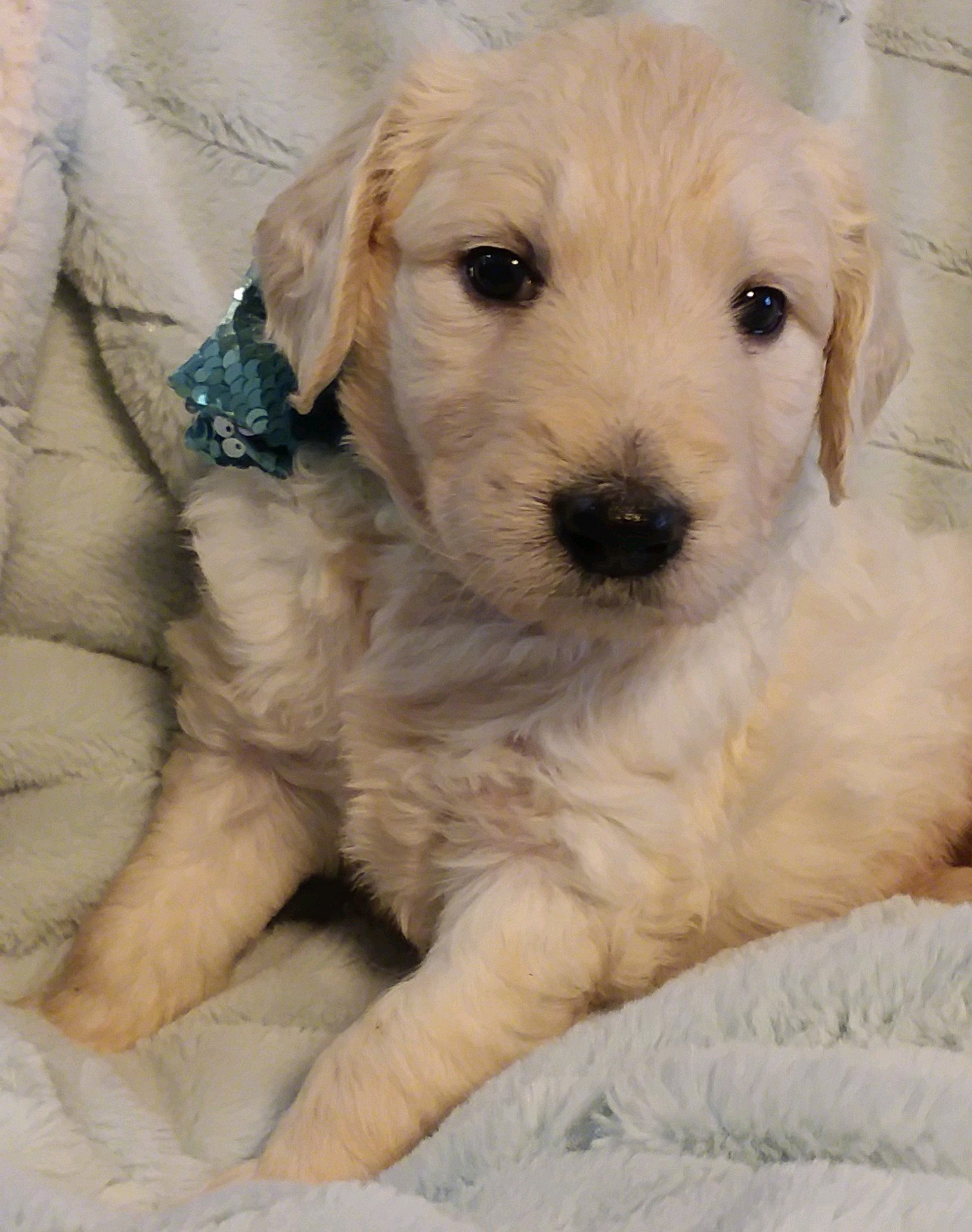 Eddie Cantor - A male Goldendoodle puppy for sale in Greenville, Sc