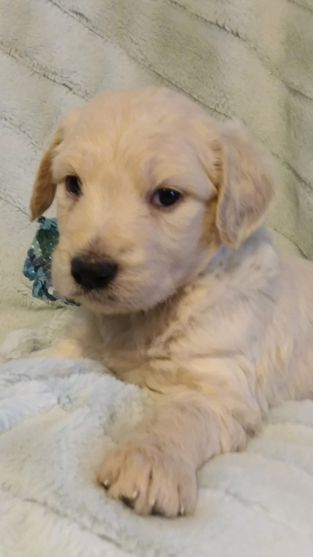 Roscoe Fatty Arbuckle - A male Goldendoodle puppy for sale in Greenville ,Sc