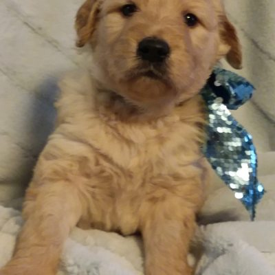 Jack Benny - A male Goldendoodle puppy for sale in Greenville, Sc