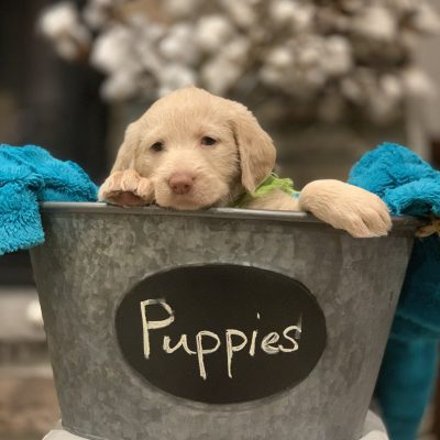 Pearla - a CKC Labradoodle puppy for sale from Visalia, California
