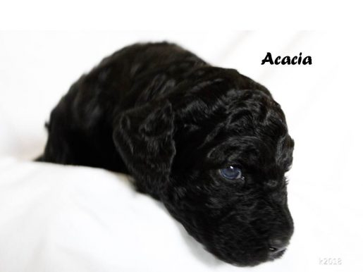 Acacia - a curious female Labradoodle puppy for sale in Arizona