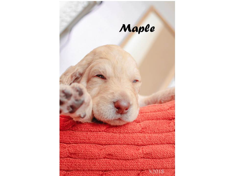 Maple - a bright female Labradoodle puppy for sale from Marana, Arizona