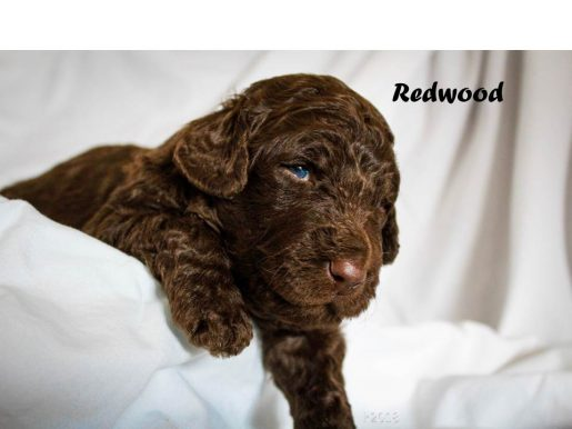 Redwood - a devoted male Labradoodle puppy for sale from Marana, AZ
