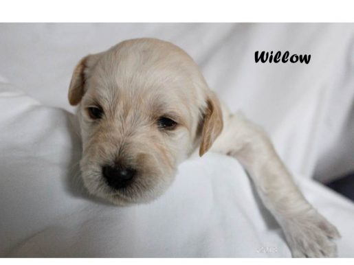 Willow - a sweet female Labradoodle puppy for sale in Marana, AZ