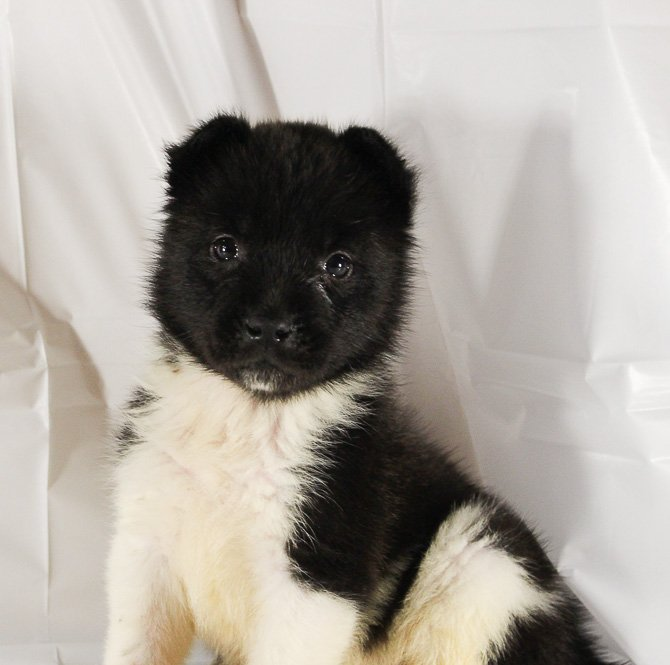 Bella - a female AKC Akita pupper for sale in Spencerville, Indiana