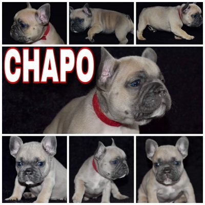 Choppo - a male French Bulldog puppy near Houston, Texas
