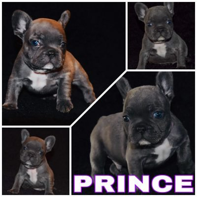 Prince - a male French Bulldog born near Houston,Texas