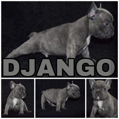 Django - a male French Bulldog from Rosharon, Texas near Houston