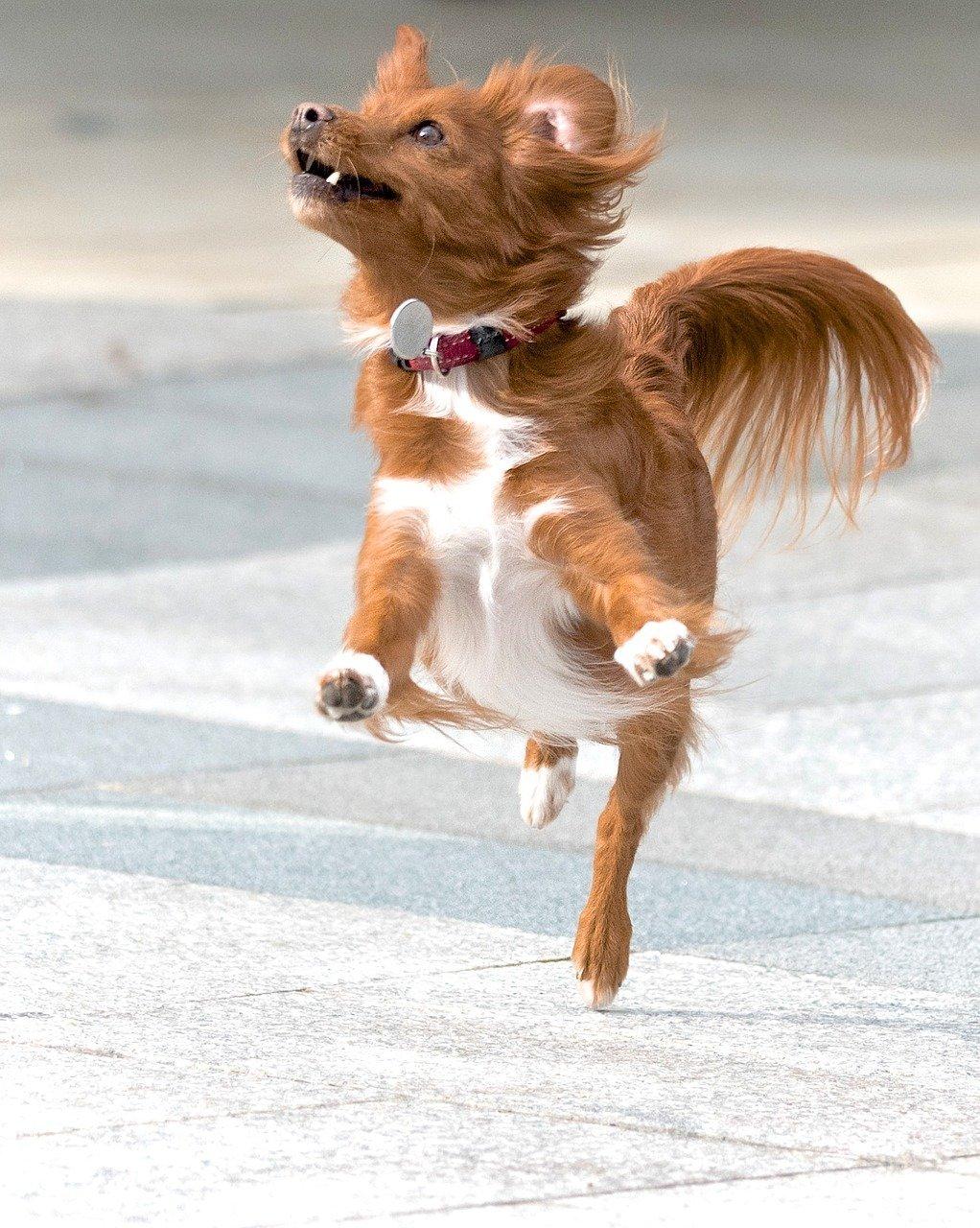Dog having fun jumping with glee.