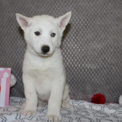 Snowy - a smart female AKC Siberian Husky puppy for sale in Indiana