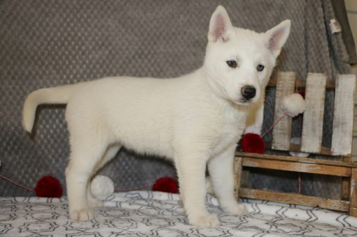 Tinkerbelle - a cute female AKC Siberian Husky puppy from Bremen, Indiana