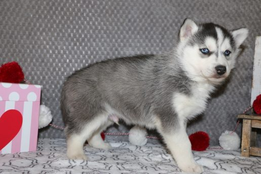 Laden - a playful male AKC Siberian Husky puppy from Indiana