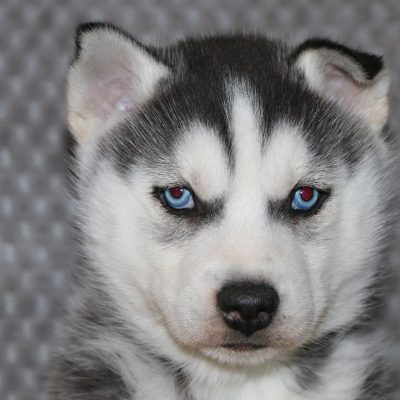 Lars - a bold male AKC Siberian Husky puppy for sale in Indiana