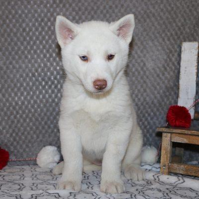 Bonnie - a female AKC Siberian Husky pupper in Bremen, Indiana