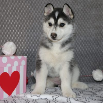Tasha - a female AKC Siberian Husky puppy for sale in Bremen, Indiana