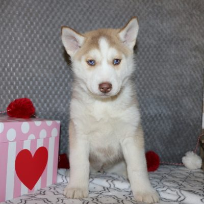 Betsy - a female AKC Siberian Husky puppy for sale in Bremen, IN