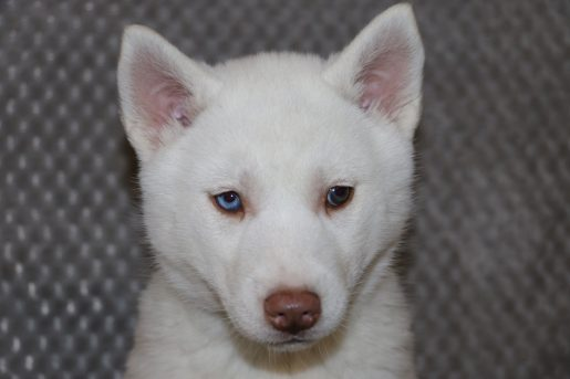 Bonnie - a female AKC Siberian Husky pupper in Bremen, Indiana