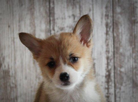 Brinley - A Female AKC Corgi Puppy for Sale in Woodburn, Indiana