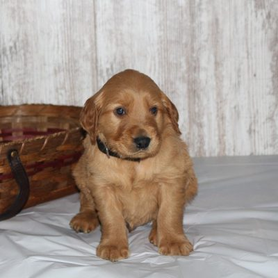 Coty - a male APRI Golden Irish puppy in Shipshewana, Indiana