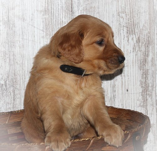 Trace - a male Golden Irish APRI puppy for sale in Shipshewana, Indiana