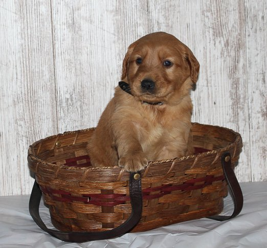 Trace - a male Golden Irish APRI puppy for sale in Shipshewana, Indiana