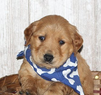 Shane - a new male APRI Golden Irish puppy for sale born in Indiana
