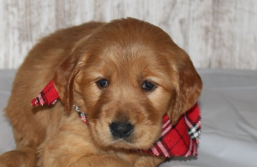 Irish Setters For Sale Irish Setter Puppies For Sale Online Vip