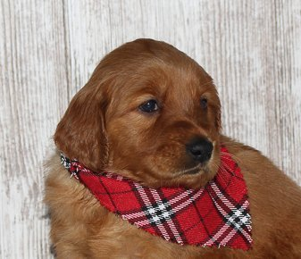 Lillie - a new Golden Irish female APRI puppy for sale in Shipshewana, Indiana