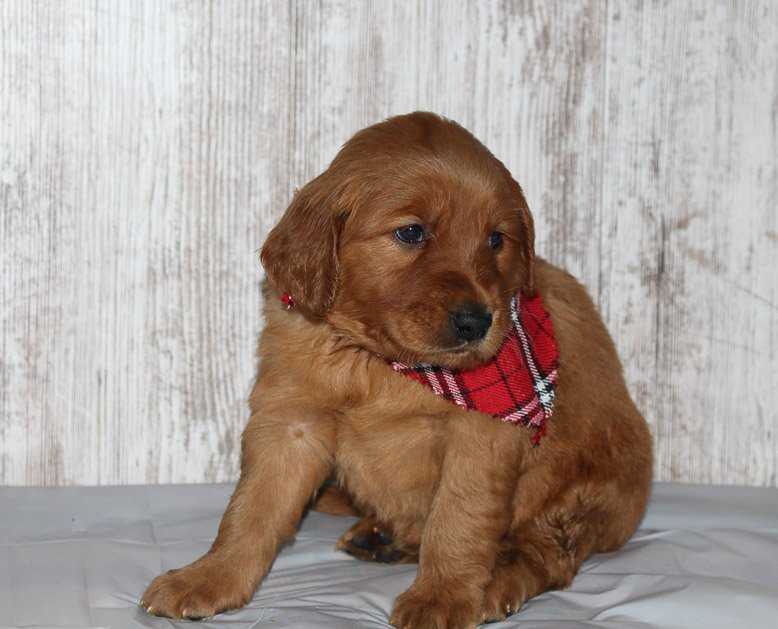 Lillie - a new Golden Irish female APRI puppy for sale in Shipshewana, Indiana