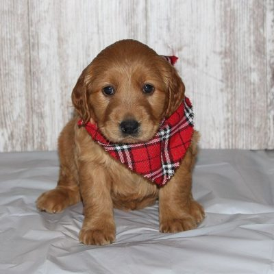 Elise - a female APRI Golden Irish puppy for sale in Shipshewana, IN