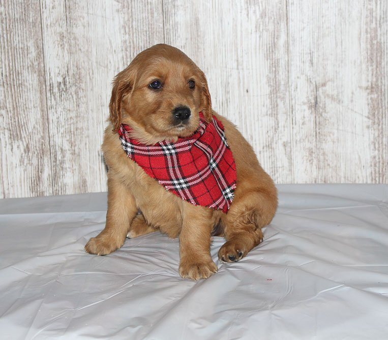 Heidi - a new Golden Irish female APRI puppy for sale in Shipshewana, IN