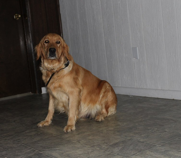 Colin - a Golden Irish puppy for sale in Shipshewana, Indiana