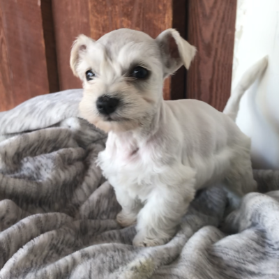 Sebastian - a male Miniature Schnauzer puppy for sale in San Diego, California
