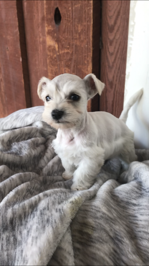 Sebastian - a male Miniature Schnauzer puppy for sale in San Diego, California