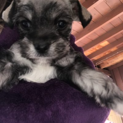 Rocky - a devoted male Miniature Schnauzer puppy for sale from San Diego, California