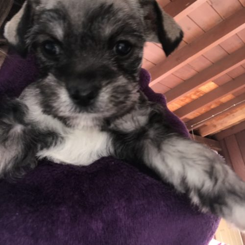 San Diego Apartments For Sale: A Devoted Male Miniature Schnauzer Puppy For Sale