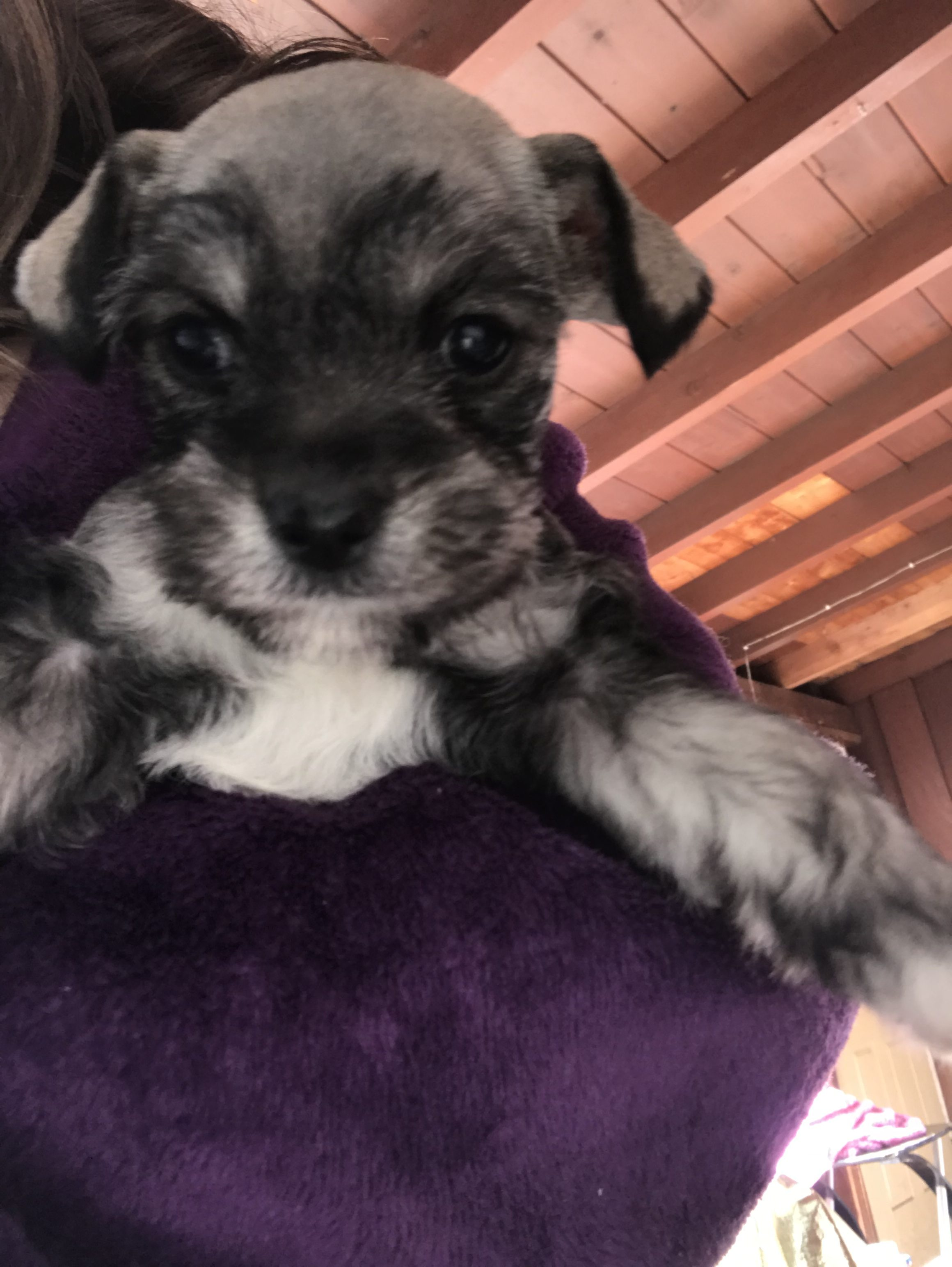 Rocky A Devoted Male Miniature Schnauzer Puppy For Sale From San